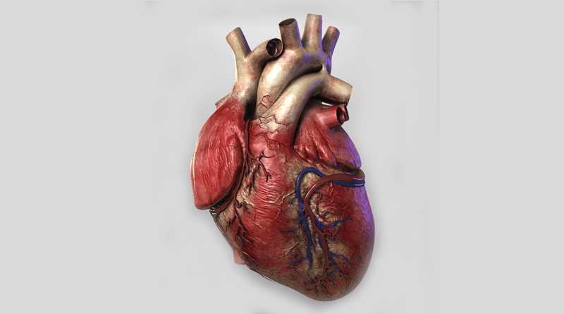 Structure and Function of Human Heart | HealthnCure.org