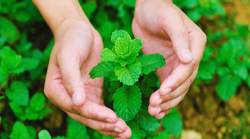 Amazing Medicinal Benefits of Mint