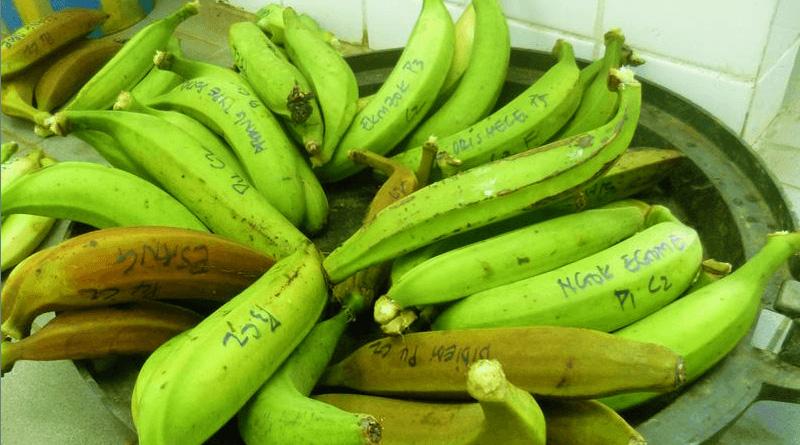 Benefits of Green Banana or Plantain