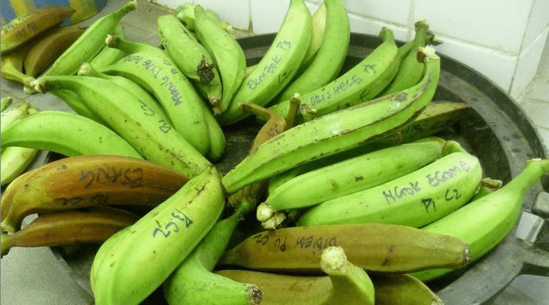 Benefits of Green Banana or Plantain