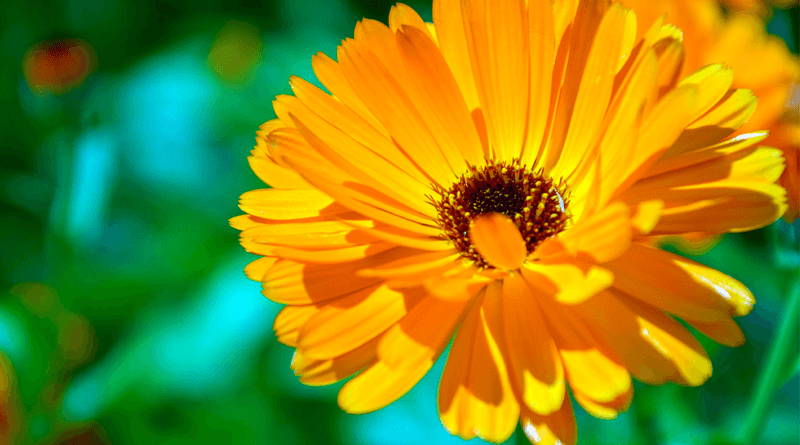Calendula Benefits for Health and Beauty