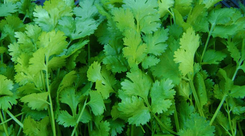 18 Incredible Medicinal Benefits of Coriander
