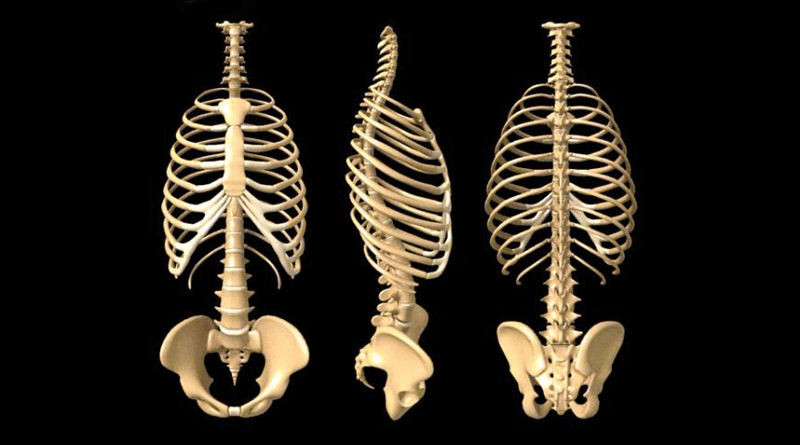 Image result for pics of human rib cage