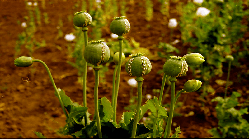Opium Addiction Effects and Precautions