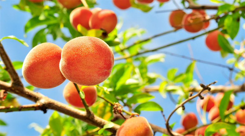 5 Health Benefits of Peach worth Knowing