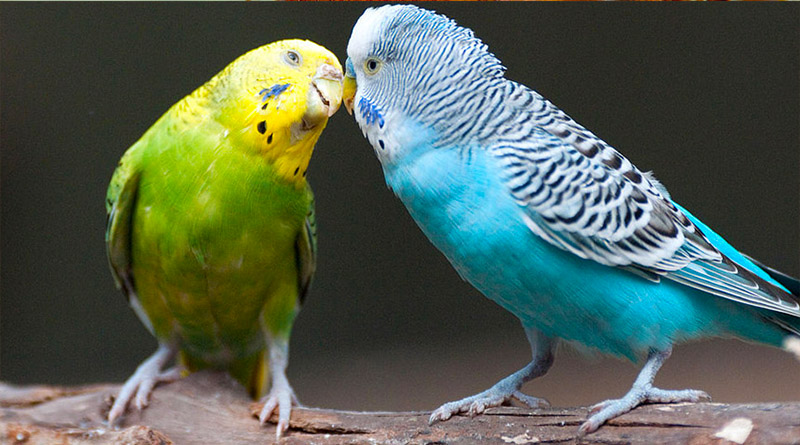 All You Must Know About Australian Parakeets